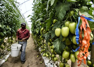A farm day laborer works at a tomato field in Los Pinos, San Quintin Valley, Baja California State, Mexico on April 23, 2015.